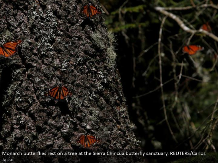 Monarch butterflies lay on a tree at the Sierra Chincua butterfly haven. REUTERS/Carlos Jasso