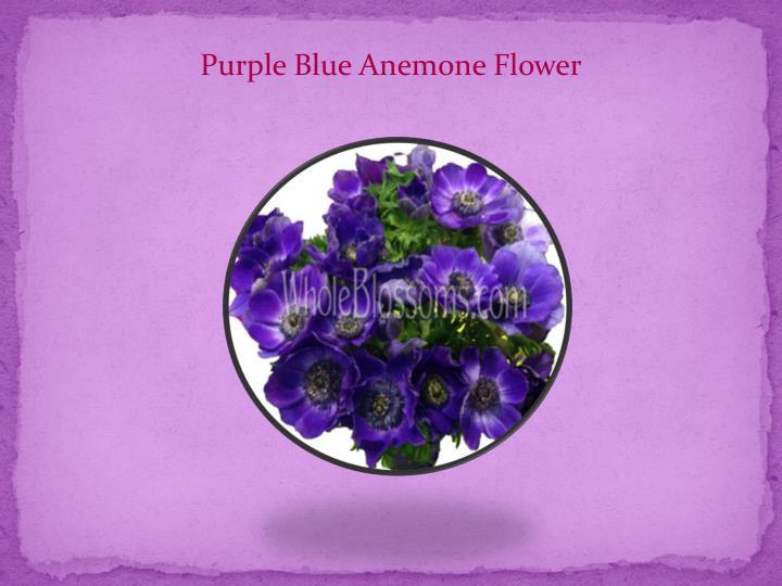 Purple Blue Anemone Flower