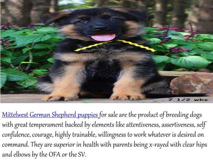 MittelwestGerman Shepherd puppies for sale are the product of breeding dogs