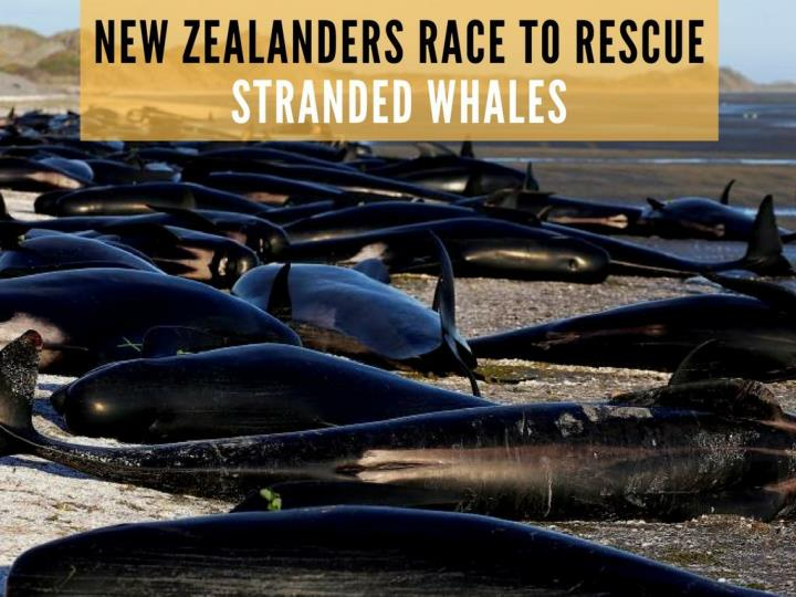 new zealanders race to safeguard stranded whales n.