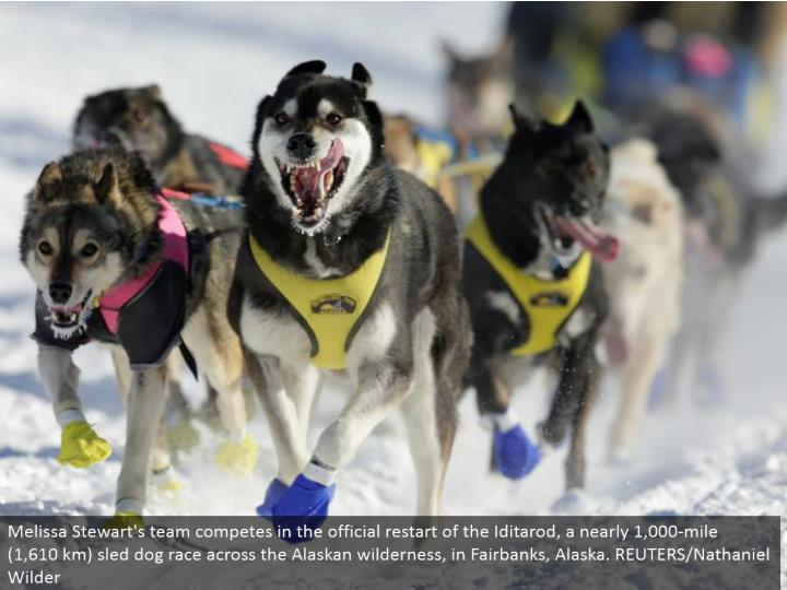Melissa Stewart's group contends in the authority restart of the Iditarod, an almost 1,000-mile (1,610 km) sled pooch race over the Alaskan wild, in Fairbanks, Alaska. REUTERS/Nathaniel Wilder