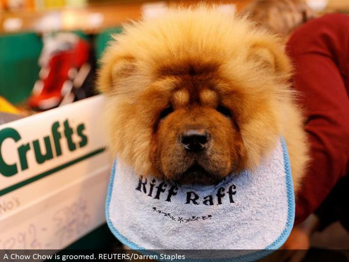 A Chow is prepped. REUTERS/Darren Staples