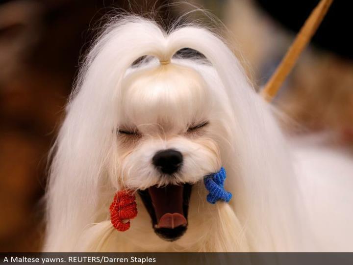 A Maltese yawns. REUTERS/Darren Staples