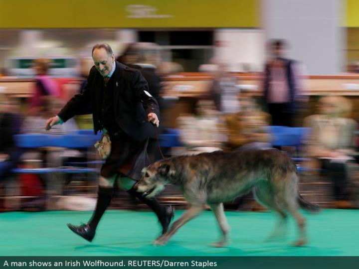 A man demonstrates an Irish Wolfhound. REUTERS/Darren Staples