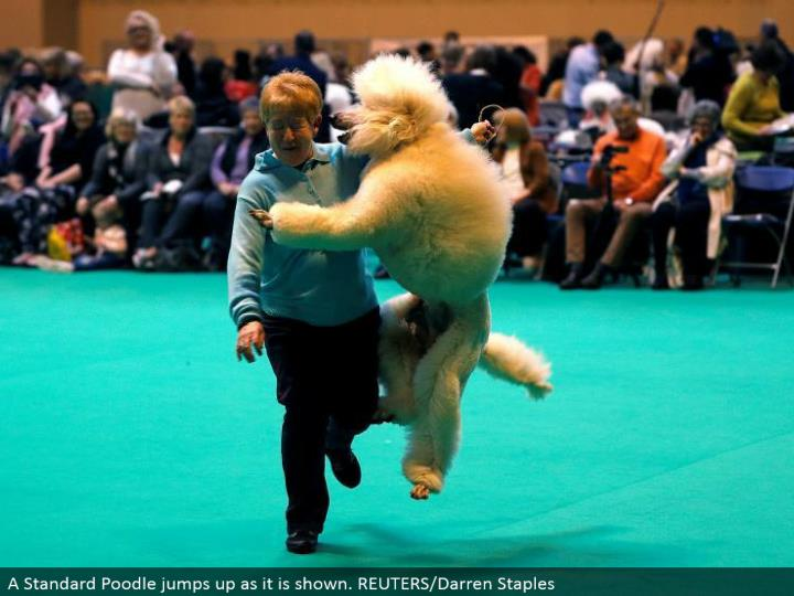 A standard poodle hops up as it is appeared