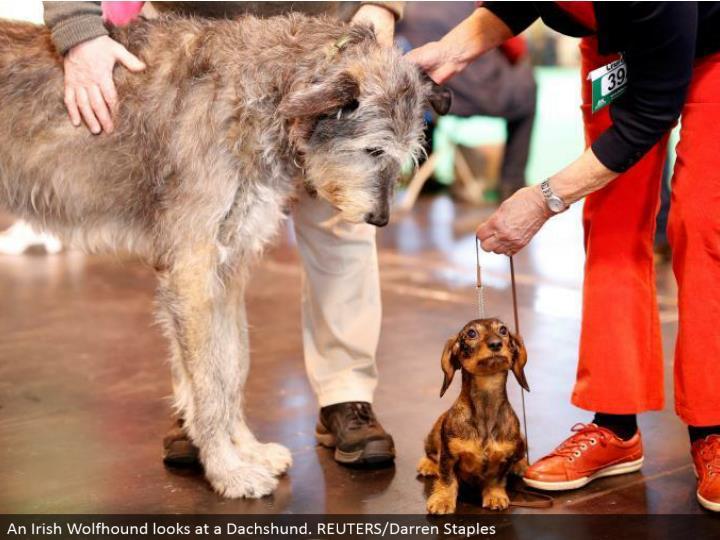 An Irish Wolfhound takes a gander at a Dachshund. REUTERS/Darren Staples