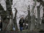 a woman walks under blooming cherry trees