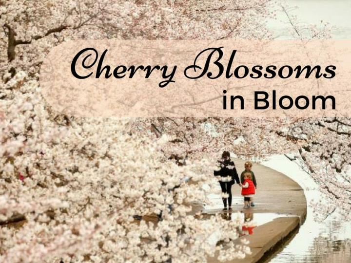 cherry blossoms in bloom n.