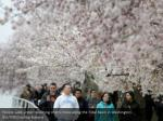 people walk under blooming cherry trees along