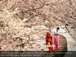 women in kimonos take photos under the cherry