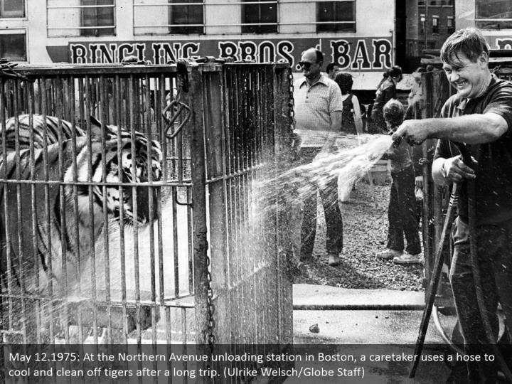 May 12.1975: At the Northern Avenue unloading station in Boston, a caretaker uses a hose to cool and clean off tigers after a long trip. (Ulrike Welsch/Globe Staff)