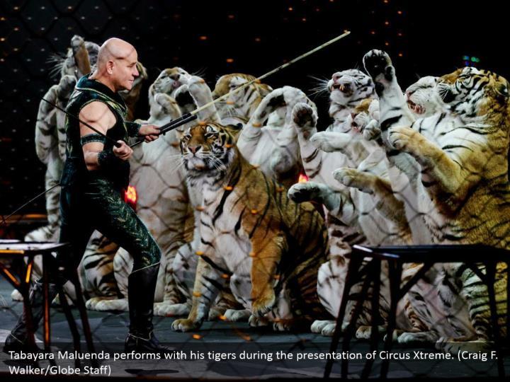 Tabayara Maluenda performs with his tigers during the presentation of Circus Xtreme. (Craig F. Walker/Globe Staff)