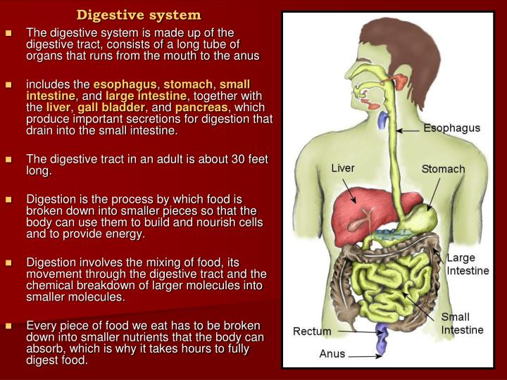 digestive system everything you need to know including - 720×540