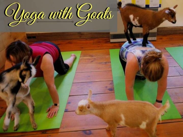 yoga with goats n.