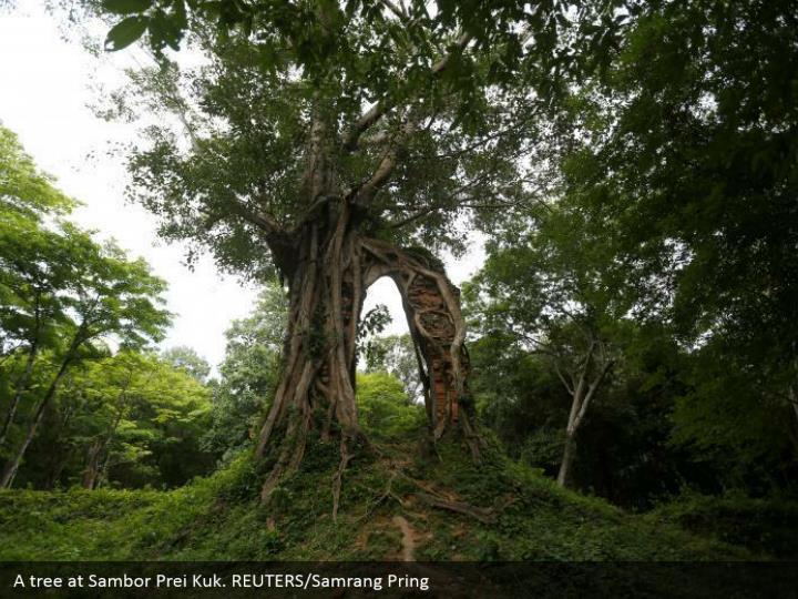 A tree at Sambor Prei Kuk. REUTERS/Samrang Pring
