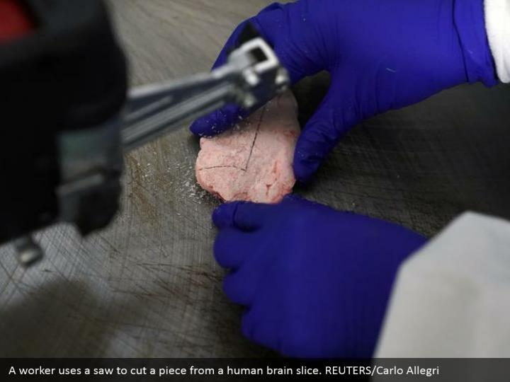 A worker uses a saw to cut a piece from a human brain slice. REUTERS/Carlo Allegri
