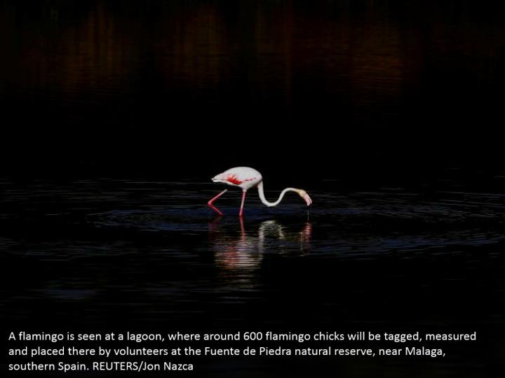 A flamingo is seen at a lagoon, where around 600 flamingo chicks will be tagged, measured and placed there by volunteers at the Fuente de Piedra natural reserve, near Malaga, southern Spain. REUTERS/Jon Nazca