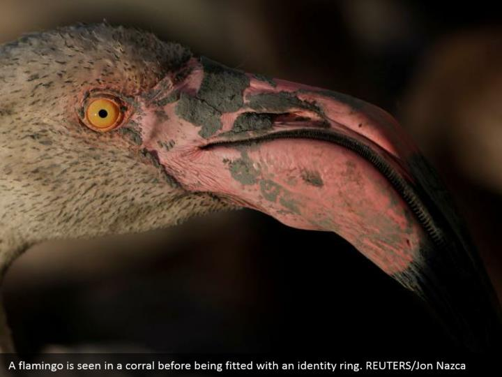 A flamingo is seen in a corral before being fitted with an identity ring. REUTERS/Jon Nazca