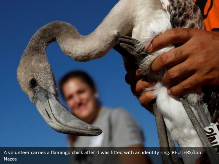 A volunteer carries a flamingo chick after it was fitted with an identity ring. REUTERS/Jon Nazca