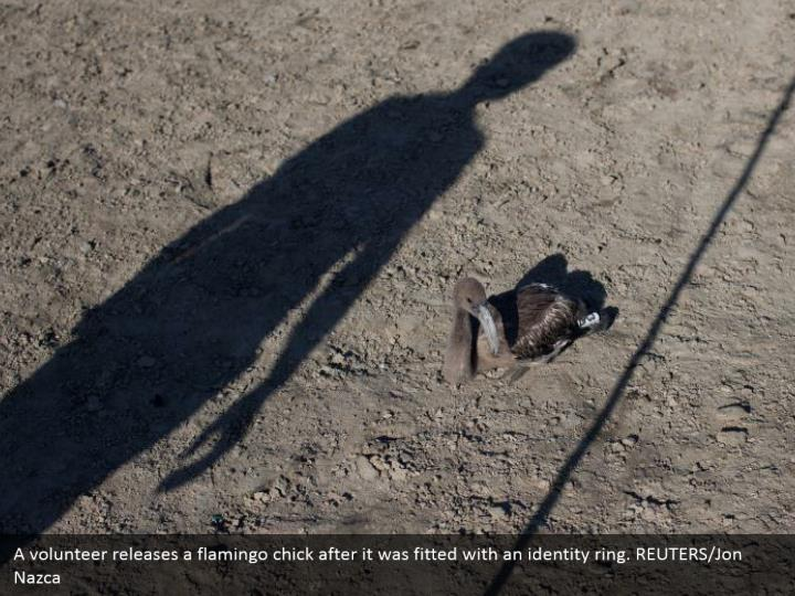 A volunteer releases a flamingo chick after it was fitted with an identity ring. REUTERS/Jon Nazca