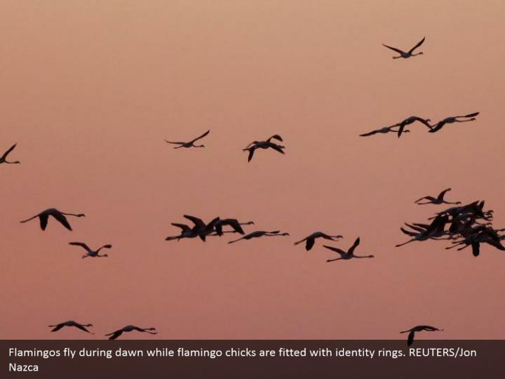 Flamingos fly during dawn while flamingo chicks are fitted with identity rings. REUTERS/Jon Nazca