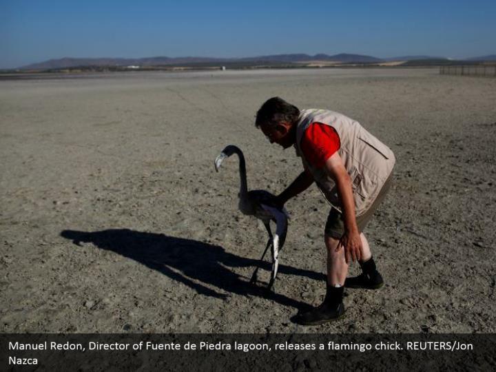 Manuel Redon, Director of Fuente de Piedra lagoon, releases a flamingo chick. REUTERS/Jon Nazca