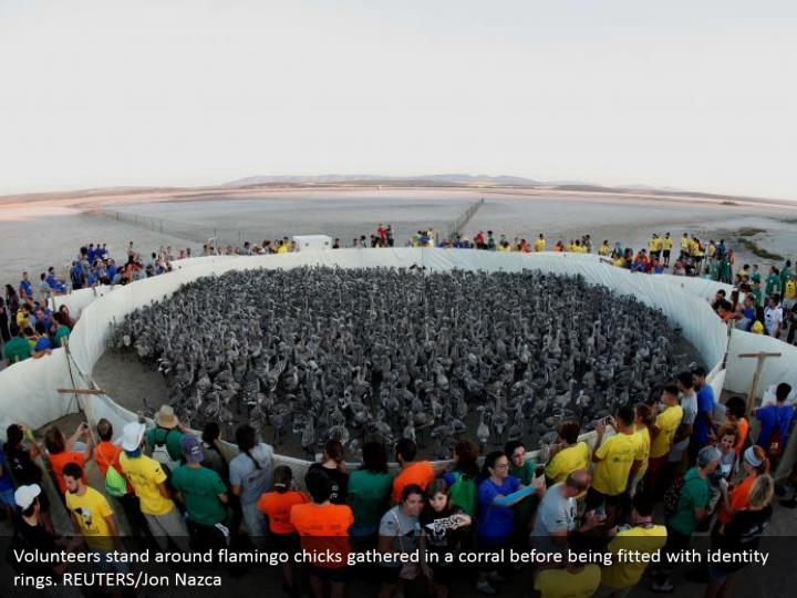 Volunteers stand around flamingo chicks gathered in a corral before being fitted with identity rings. REUTERS/Jon Nazca