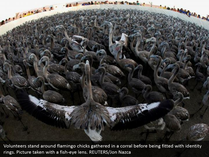 Volunteers stand around flamingo chicks gathered in a corral before being fitted with identity rings. Picture taken with a fish-eye lens. REUTERS/Jon Nazca