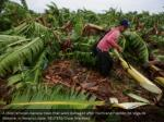 a child removes banana trees that were damaged