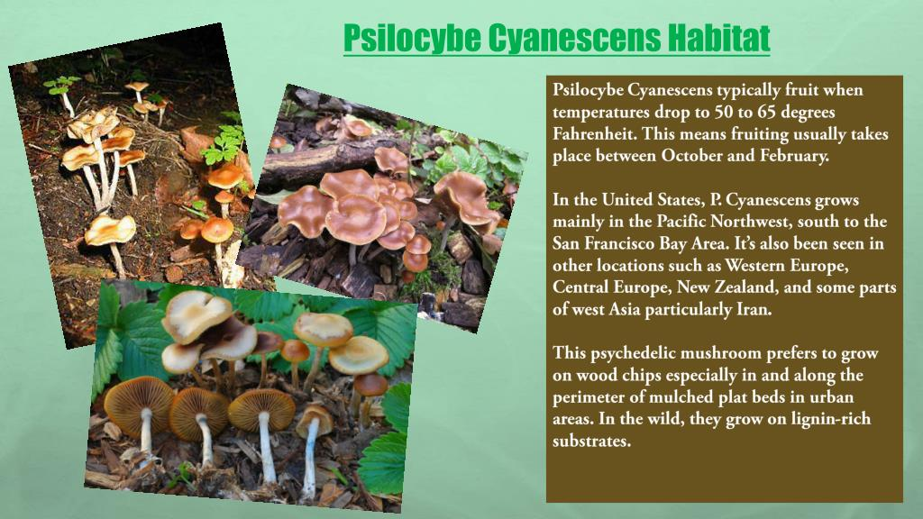 PPT - What is Psilocybe Cyanescens? PowerPoint Presentation - ID:7688234
