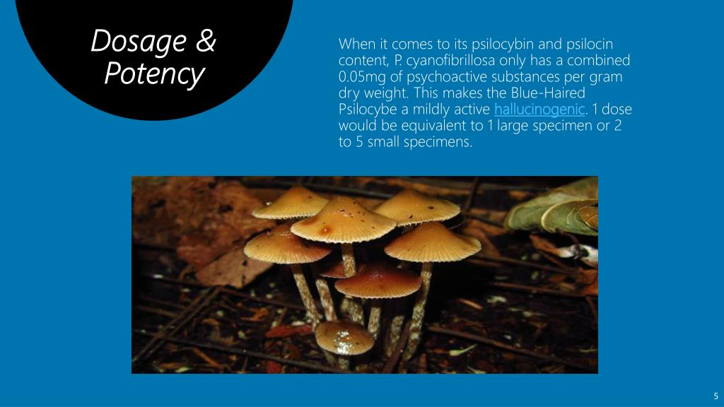 PPT - What is Psilocybe Cyanofibrillosa? PowerPoint