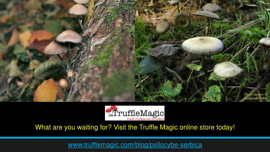 PPT - Know About Psilocybe Serbica PowerPoint Presentation