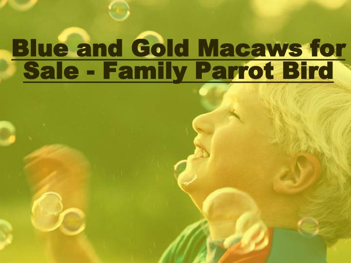 blue and gold macaws for sale family parrot bird n.