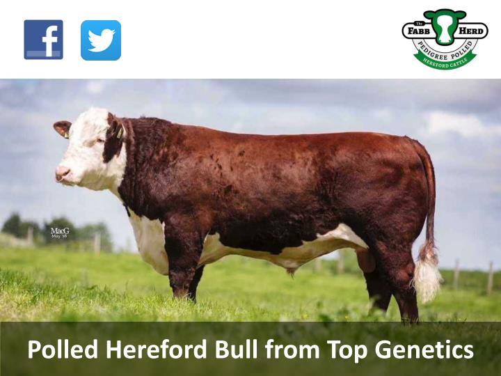 PPT - Polled Hereford Bull from Top Genetics PowerPoint