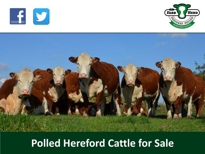 polled hereford cattle for sale n.