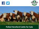 polled hereford cattle for sale