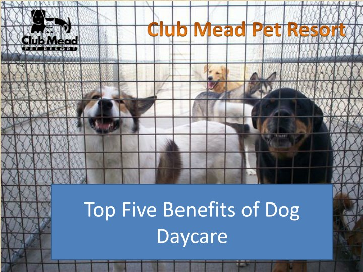 top five benefits of dog daycare n.
