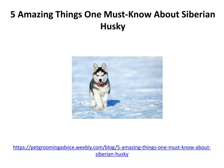 https petgroomingadvice weebly com blog 5 amazing things one must know about siberian husky n.