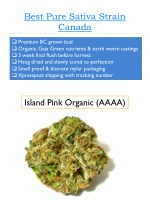 best pure sativa strain canada