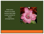 pink lotus flower is a pink variety that adds