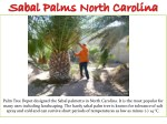 palm tree depot designed the sabal palmetto