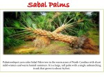 palmtreedepot com sales sabal palm tree