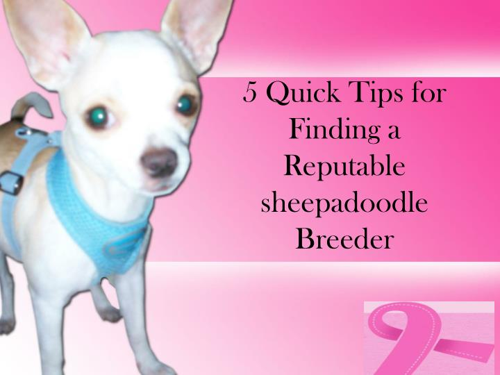 5 quick tips for finding a reputable sheepadoodle breeder n.