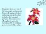 stargazer lilies are one of the industry s most
