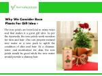 why we consider rose plants for gift idea