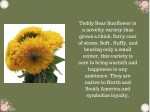 teddy bear sunflower is a novelty variety that
