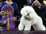 flynn a bichon frise and winner of best in show
