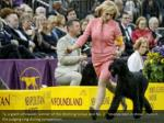 ty a giant schnauzer winner of the working group