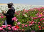 a worker picks ranunculus flowers at the flower 2