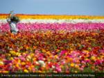 a worker picks ranunculus flowers at the flower 3